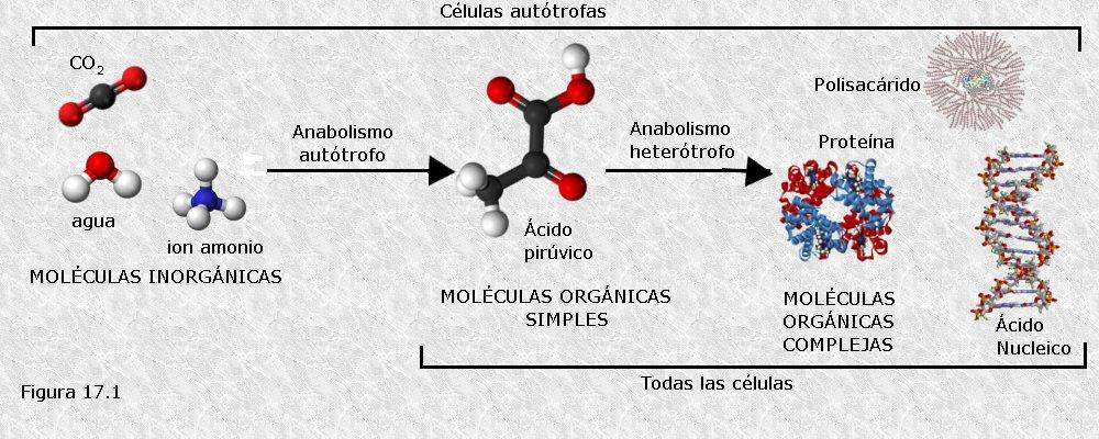 Metabolismo primario y secundario pdf